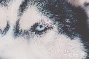 husky oko